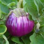 Aubergine 'Rosa Bianca' Eggplant