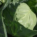 Chou - Cabbage