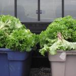 Laitues chargées - Loaded Lettuce