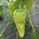 Poivrons verts - Green Peppers