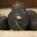 Radis noirs - Black Radishes