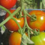 Tomates 'glacier' Tomatoes