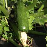courgette - zucchini