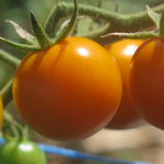 Premières tomates - First Tomatoes